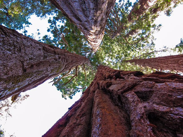 Sequoia National Forest looking up at the trees