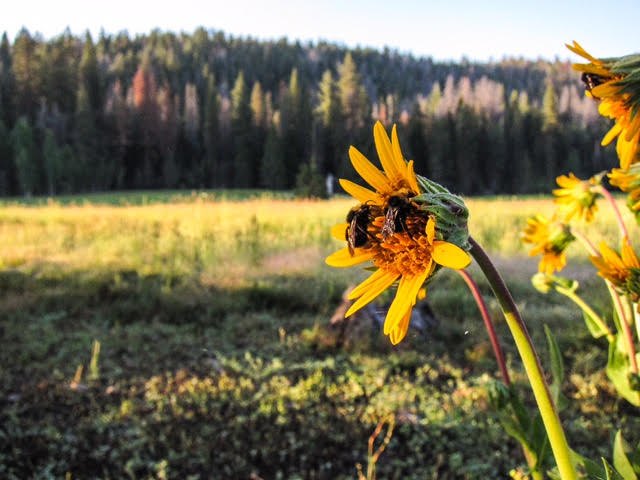 Daisy flower with bee's in a Sequoia meadow